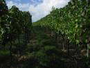 grape vine field gaas